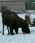 Moose on his knees, eating Olivia's frozen Halloween pumpkin
