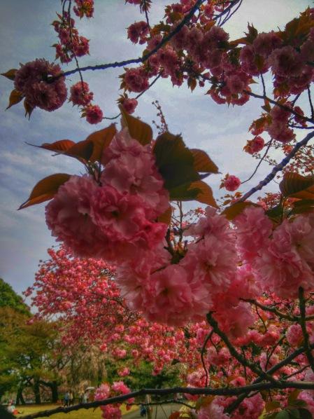 Tokyo cherry blossom. Photo: Silvia La Rosa